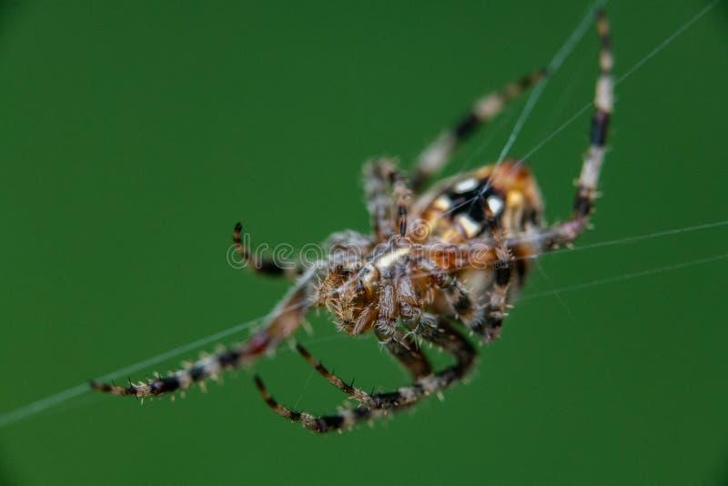 Łaciasty okręgu tkacza pająk na sieci zdjęcia royalty free