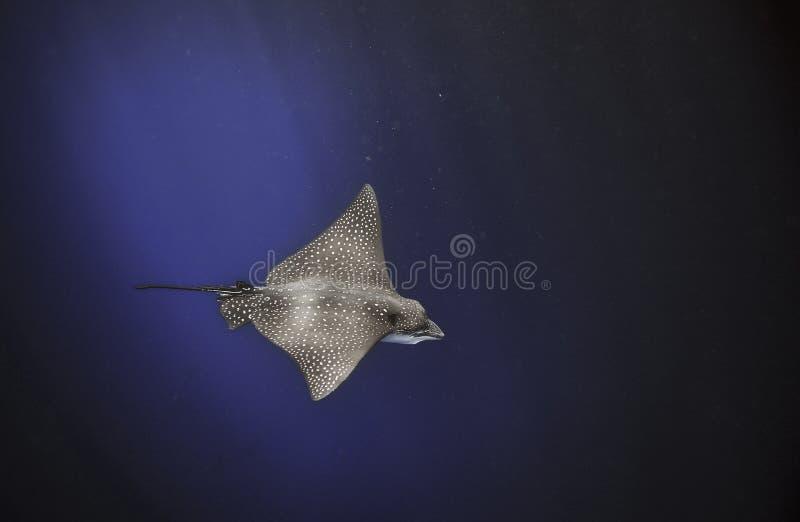 Łaciasty orła promienia Aetobatus narinari pływać podwodny w błękitnym oceanie fotografia royalty free