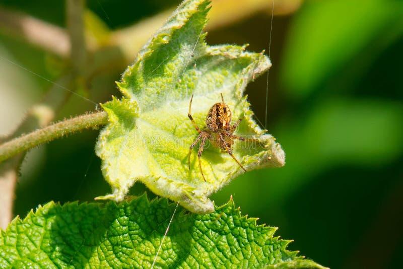 Łaciasty Orbweaver pająk - Neoscona crucifera fotografia stock