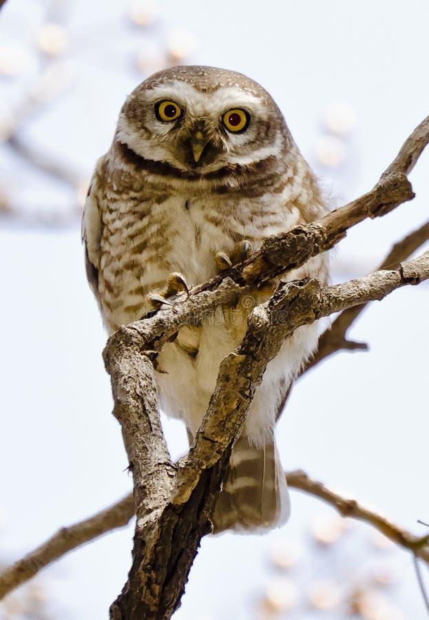 Łaciasty owlet gapi się przy fotografem fotografia royalty free