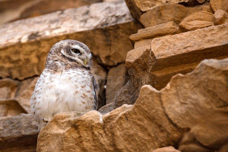 Łaciasty Owlet lub Athene brama zdjęcia royalty free