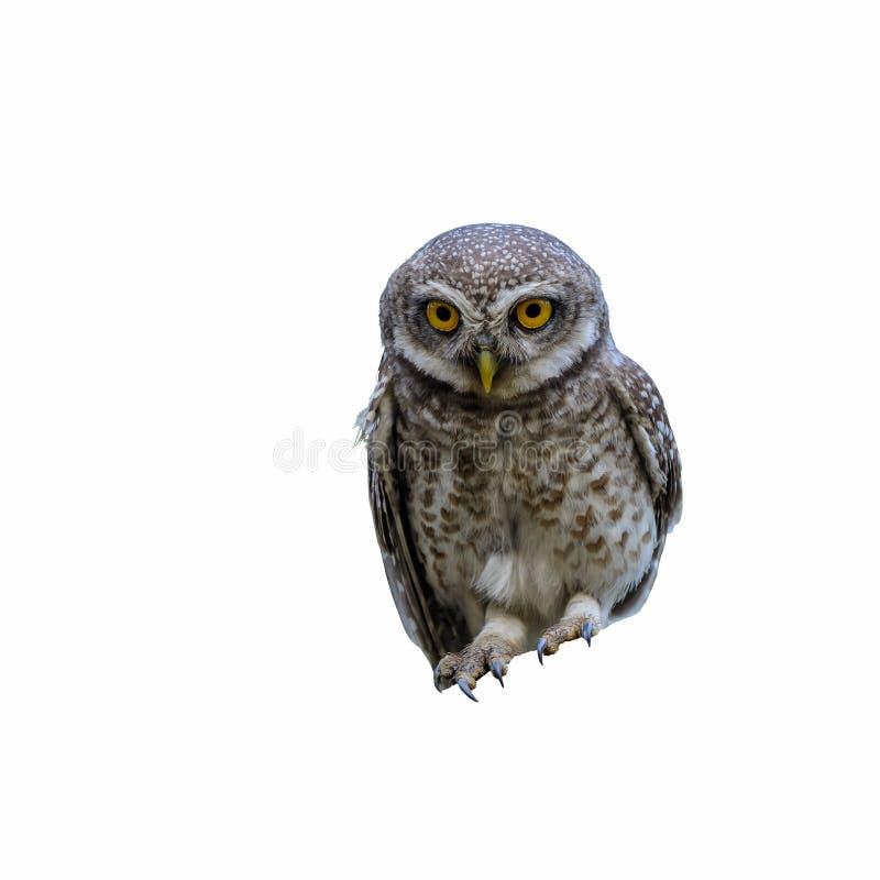 Łaciasty Owlet lub Athene brama zdjęcie royalty free
