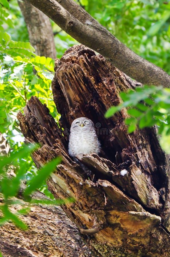 Łaciasty owlet w wydrążeniu drzewo obrazy stock