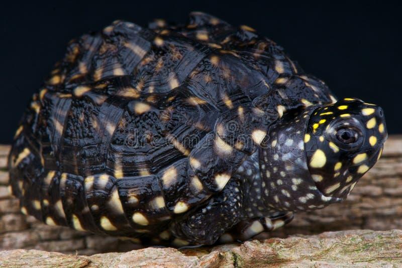 łaciasty stawu żółw obraz royalty free