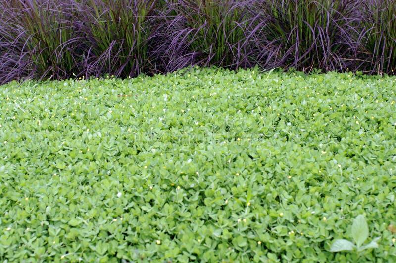 Łaciaty arachidu i purpury trawy pennisetum fotografia royalty free