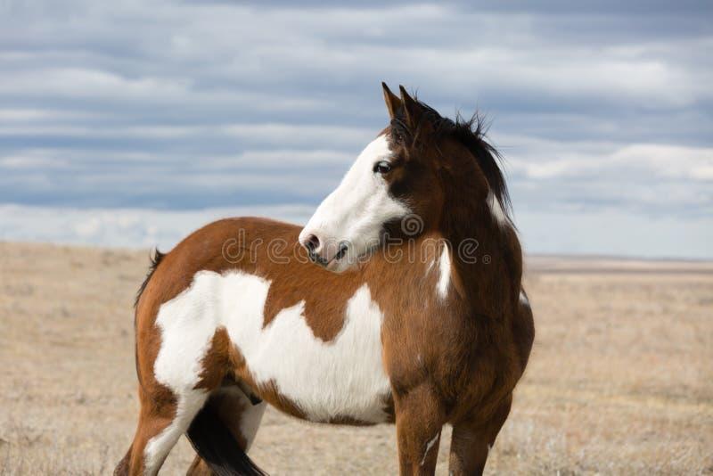 Łaciaty koń obrazy stock
