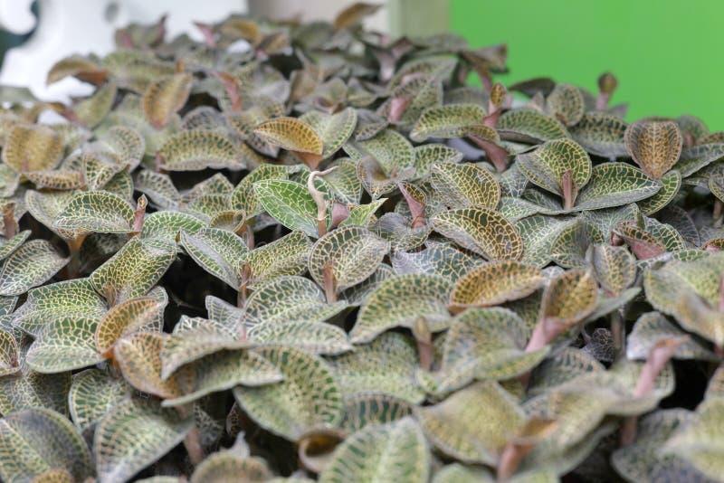 Łaciny imię jinxianlian jest anoectochilus roxburghii ścianą lindl obrazy stock