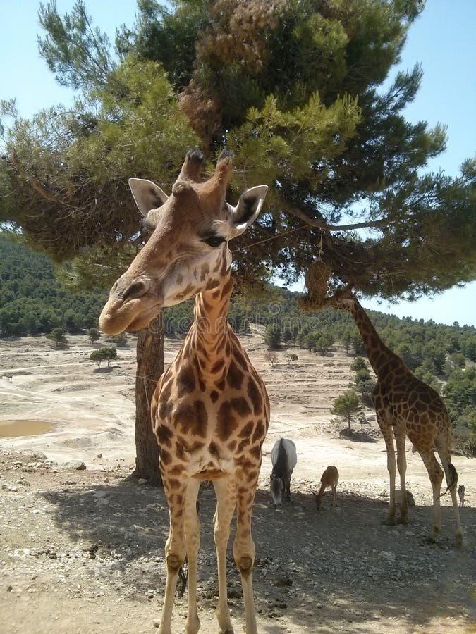 Ładna, duża, śmieszna żyrafa w safari parku, obrazy royalty free