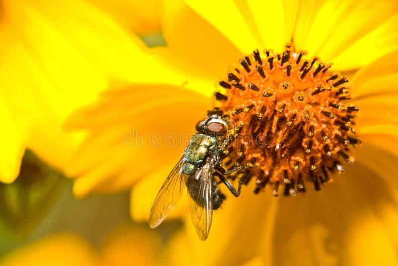 Ładna komarnica obrazy royalty free