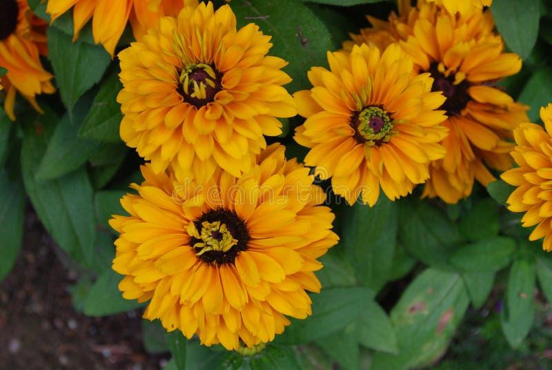 Ładna Kwitnąca Rudbeckia roślina w ogródzie zdjęcie royalty free