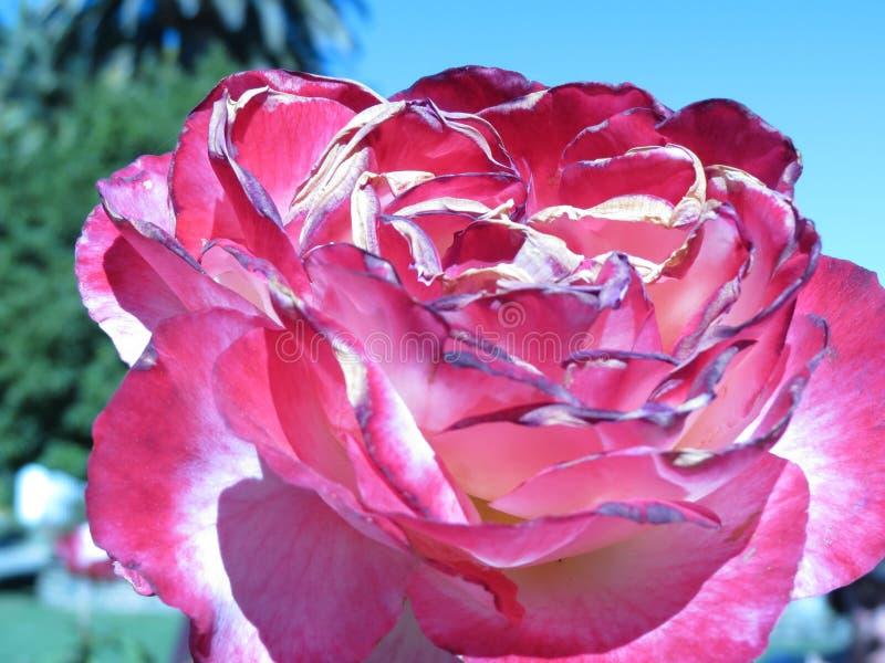 Ładna menchii i purpur róża zdjęcie stock