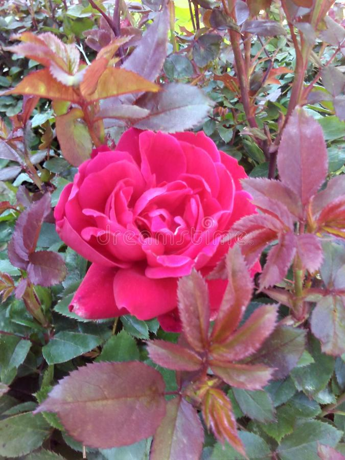 Ładna menchii róża dla ja fotografia royalty free