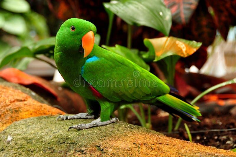 Eclectus papuga fotografia royalty free