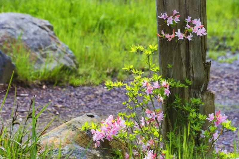 Ładna różowa kwiatonośna roślina przeciw drewnianej poczta obrazy royalty free