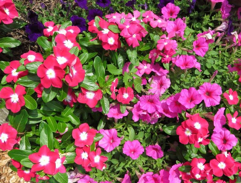 Ładna Różowa petunia i Impatiens Kwitniemy w Lipu w ogródzie obraz royalty free