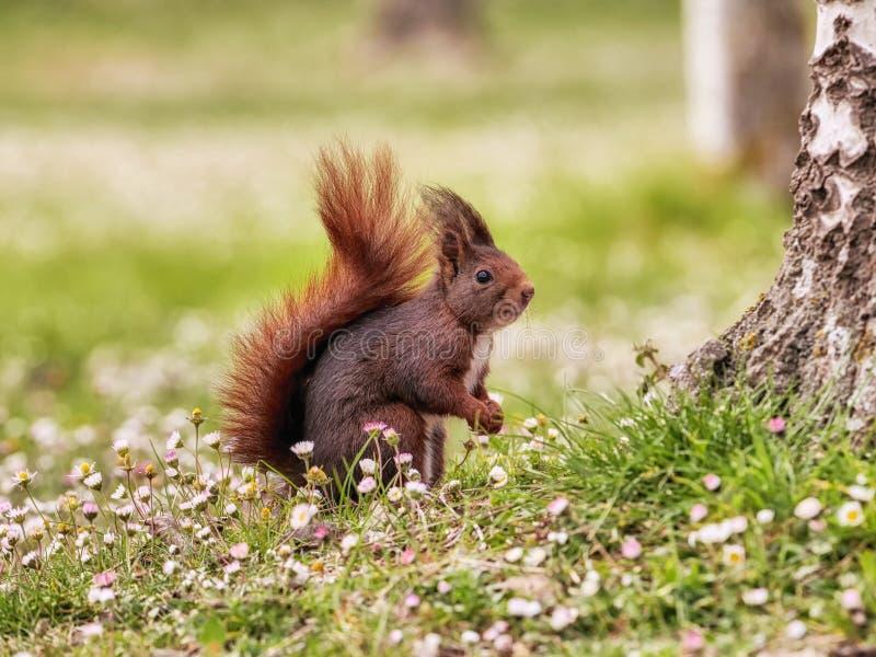 Ładna scena z czerwoną wiewiórką w polu kwiaty zdjęcia royalty free
