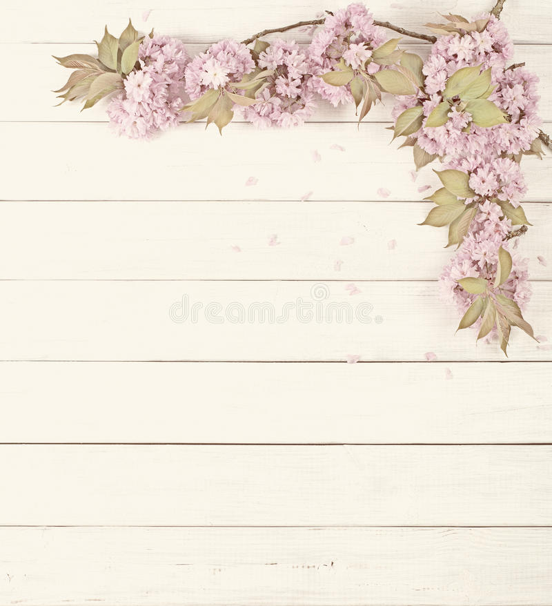 Ładne Różowe Czereśniowego okwitnięcia kończyny na Nieociosanym Białej deski tle z pokojem lub przestrzeni dla kopii, tekst obrazy stock
