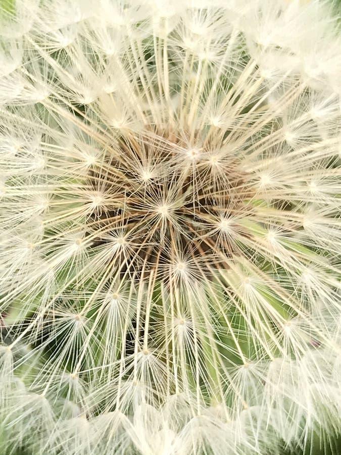 Ładnego szczegółowego zbliżenia makro- widok textured zadziwiający suszy siającego dandelion w ogródzie, faunach i florze, fotografia stock