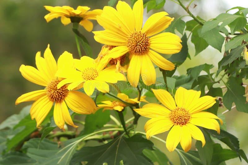 Ładni kwiaty rozprzestrzenia radość z jaskrawym żółtym kolorem fotografia royalty free