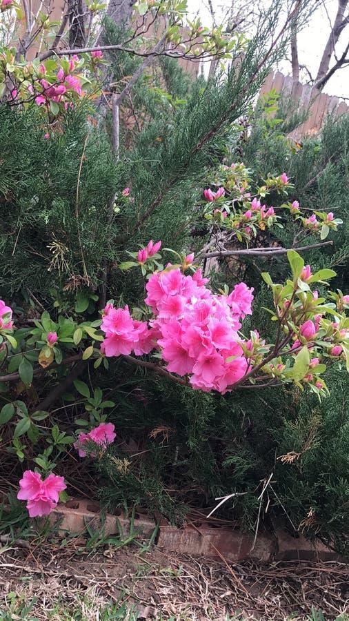 Ładni menchia kwiatu krzaki obraz stock