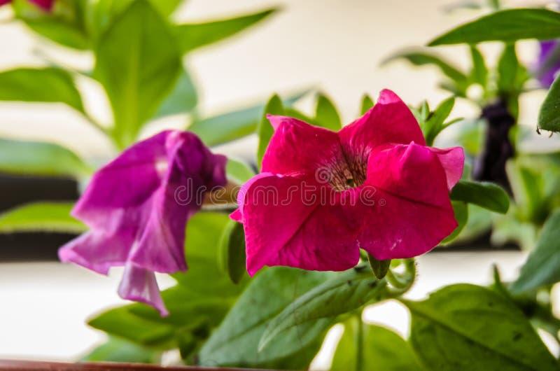 Ładni petuni zieleni i kwiatu liście zdjęcie royalty free