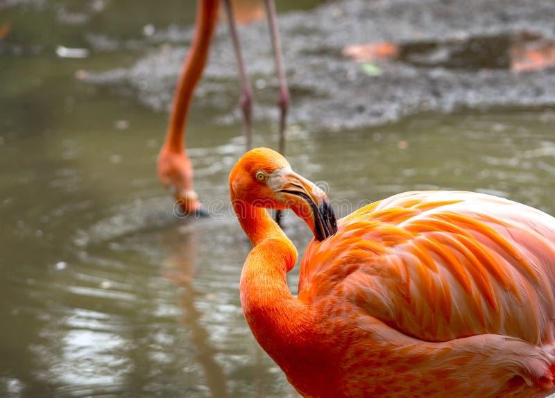 Ładni pomarańcze i korala flaminga barwioni ptaki zdjęcia royalty free