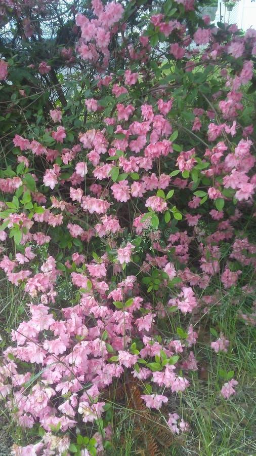 Ładni różowi płatki fotografia royalty free