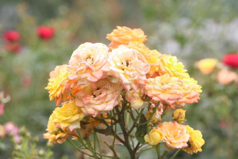 ładni roos zdjęcie royalty free