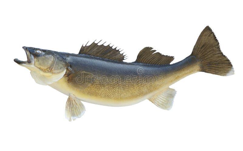 Ładni walleye odizolowywający na białym tle zdjęcie stock