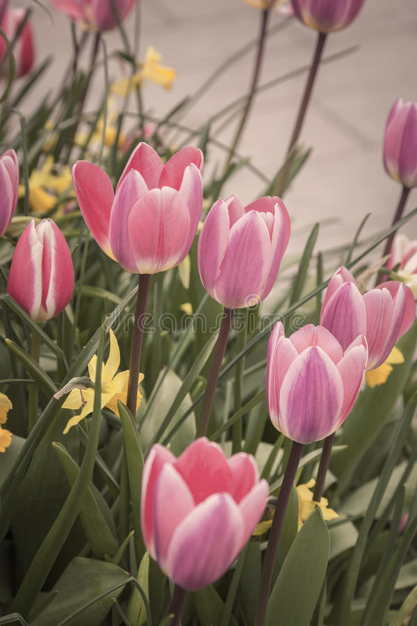 Ładni wiosna tulipany zdjęcie stock