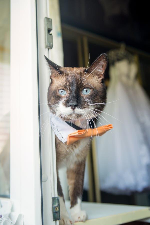 Ładny ślubny śmieszny kot blisko okno fotografia stock