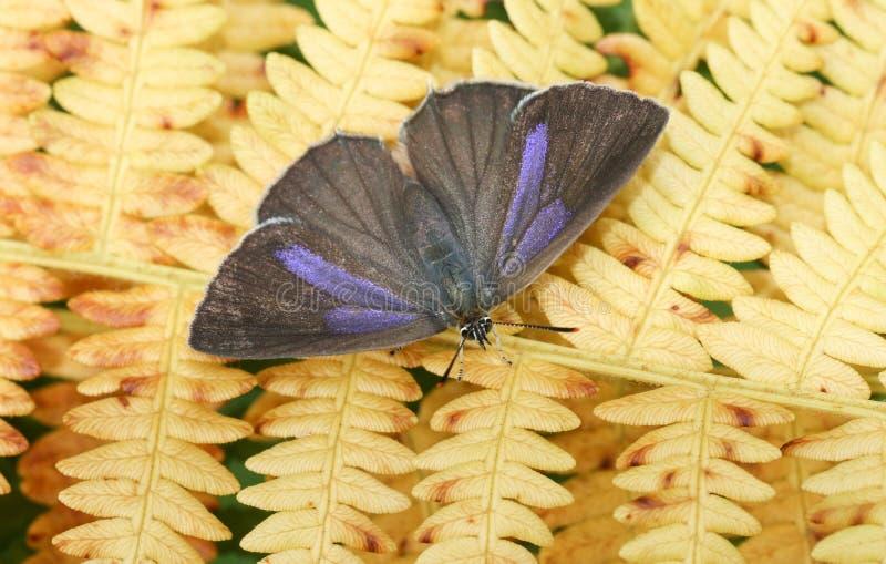 Ładny żeński Purpurowy modraszka motyla Favonius quercus umieszczał na bracken obraz stock