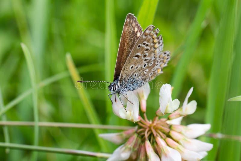 Ładny błękitny motyl siedzi na kwiatu okwitnięciu, makro- fotografia obraz royalty free