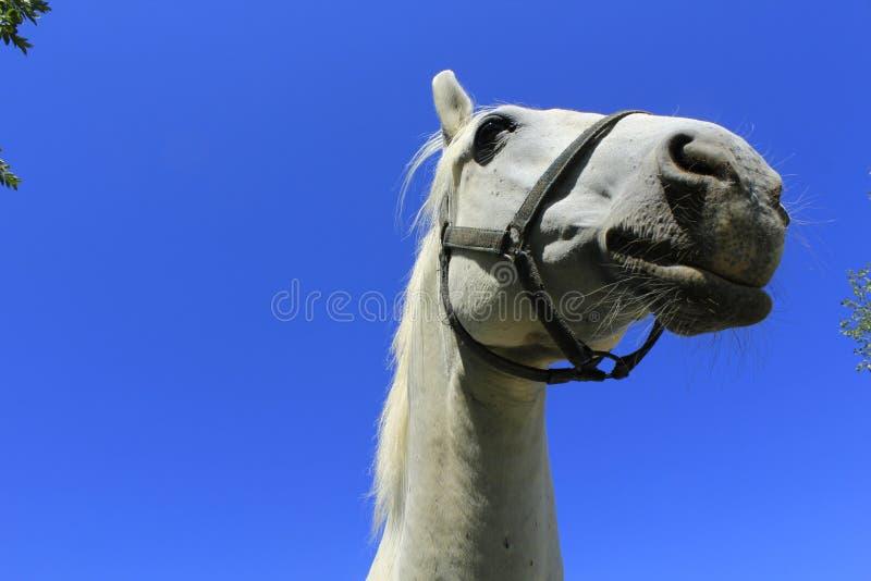 ładny biały koń obrazy royalty free
