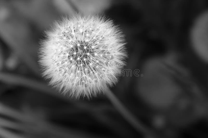 Ładny dandelion dorośnięcie w łące zdjęcie stock