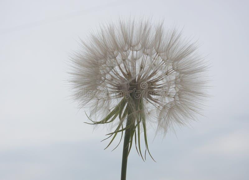 ?adny dandelion kwiat fotografia royalty free