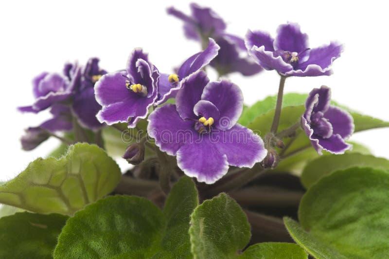 Ładny fiołkowy kwiat fotografia stock