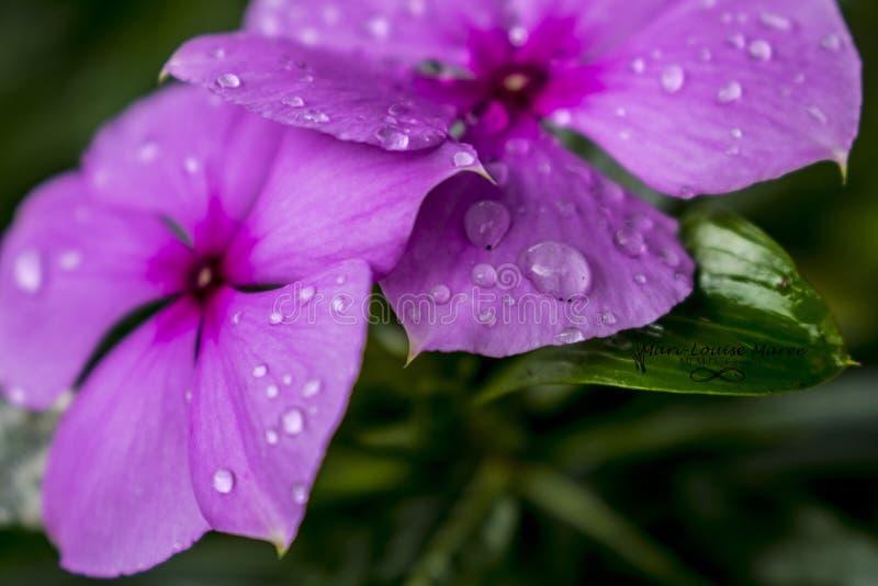 Ładny fiołkowy kwiat z zielonymi liśćmi fotografia royalty free