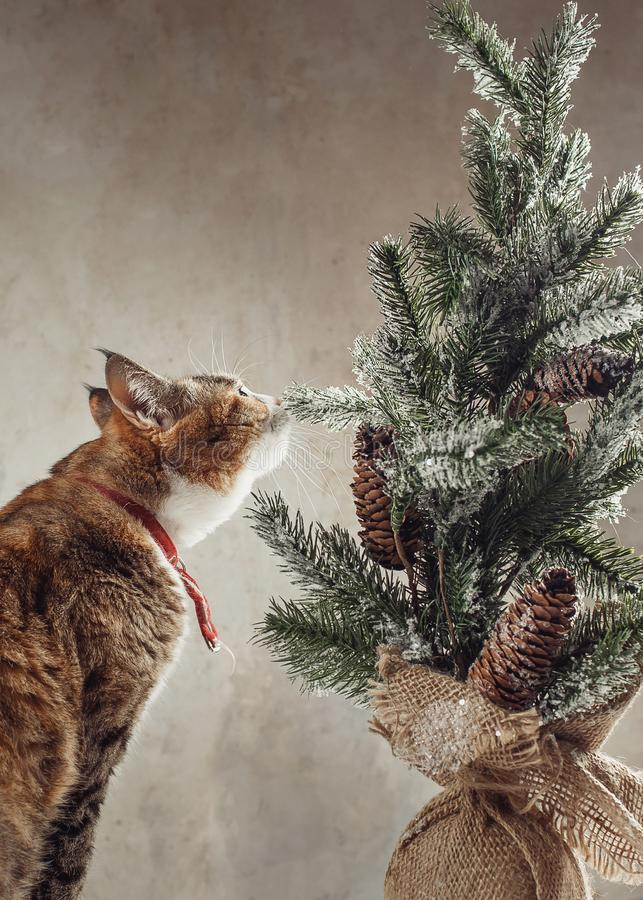 Ładny imbirowy kot interestedly bada rocznik dekoracyjnej choinki z rożkami obrazy royalty free