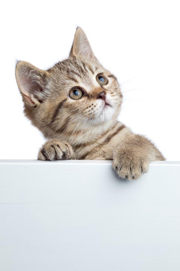 Ładny kot figlarki zerkanie z pustego znaka na białym tle, fotografia royalty free