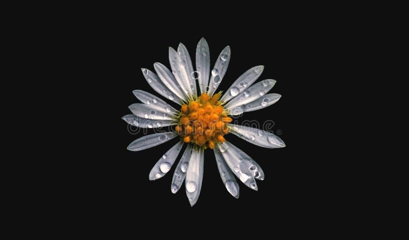 Ładny kwiat i płatki z rosą na Czarnym tle zdjęcia stock
