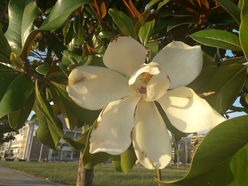 Ładny kwiat magnolia obraz royalty free
