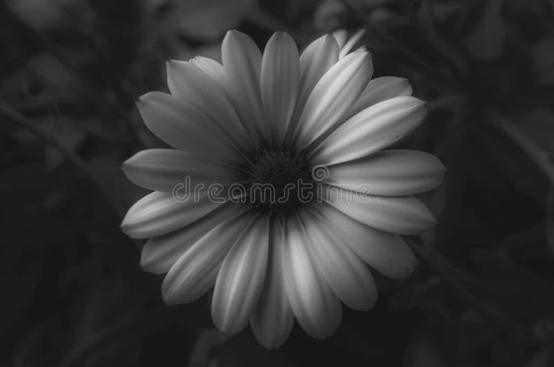 Ładny kwiatu kwiat w Czarny I Biały zdjęcia stock
