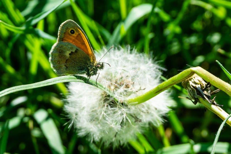 Ładny mały pomarańczowy motyl siedzi na trawie przed zatartym dandelion zdjęcia stock