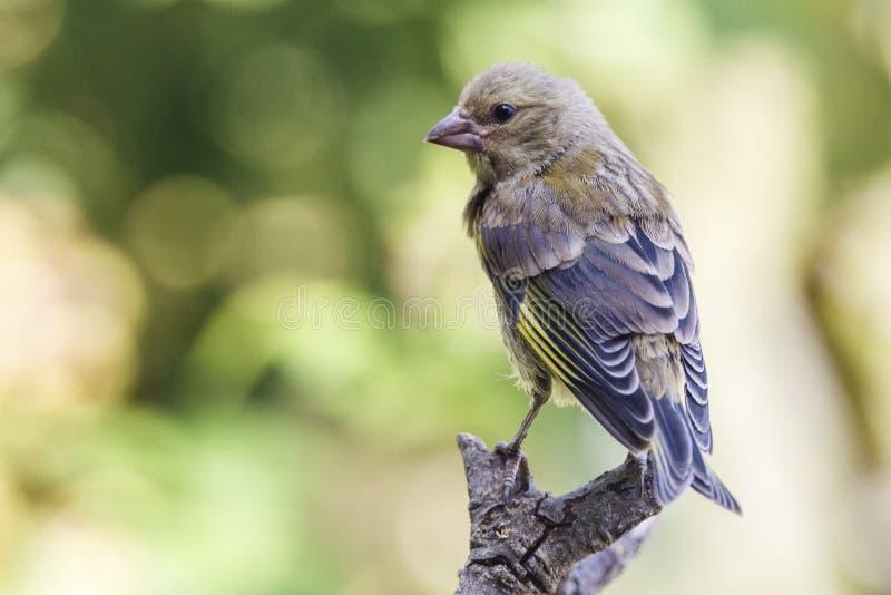 Ładny mały ptak, nazwany Europejczyka Greenfinch chloris chloris pozujący nad gałąź z, z ostrości tła zdjęcia royalty free