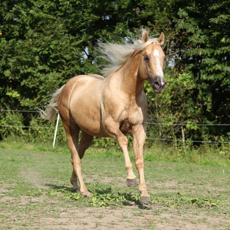 Ładny palomino koń z długim blond grzywa bieg obraz stock