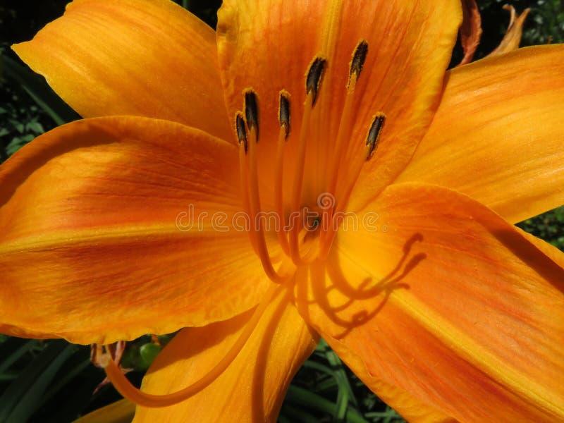 Ładny Pomarańczowy leluja kwiat w Czerwu zdjęcie stock
