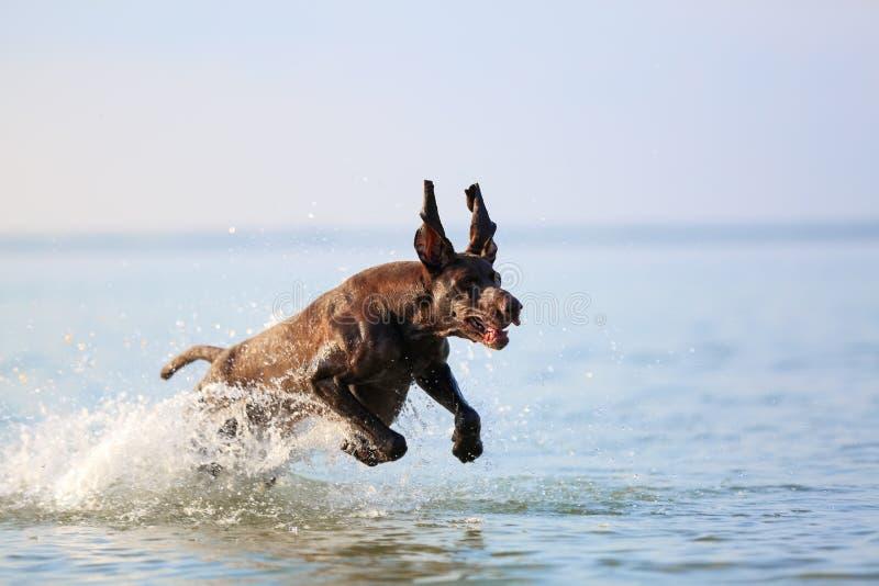 Ładny portret thoroughbred łowieckiego psa shorthaired pointeru brązu Niemiecki kolor Śmieszni kręceni ucho Marznący w pozie zdjęcie stock