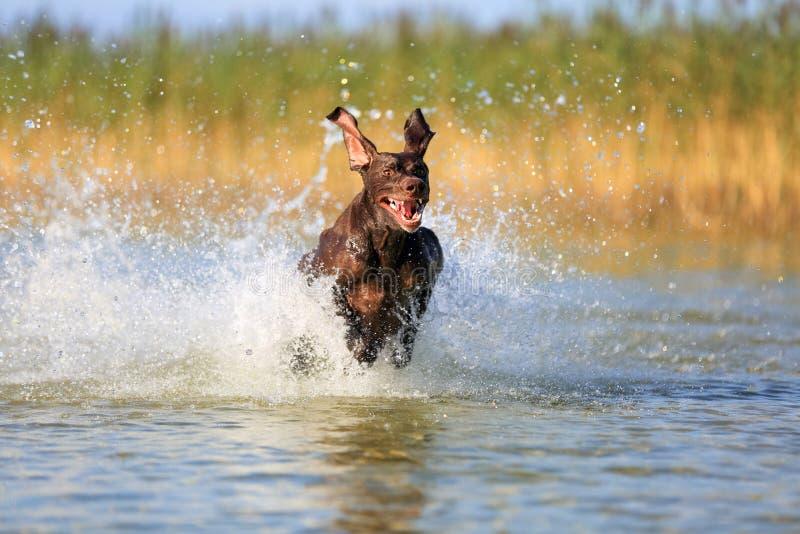 Ładny portret thoroughbred łowieckiego psa shorthaired pointeru brązu Niemiecki kolor Śmieszni ucho wskazuje na różnych stronach zdjęcia stock