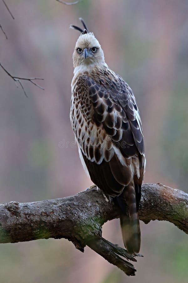 Ładny ptaka drapieżnego hindus Sikra w natury siedlisku w India zdjęcia royalty free